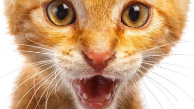 Big orange meow
