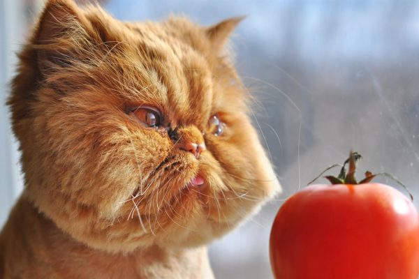 the cat and the tomato