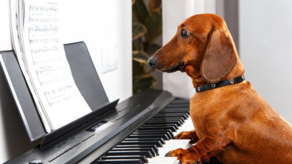 Dachshund playing the piano