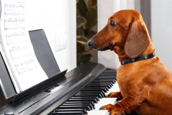 Dachshund playing the piano