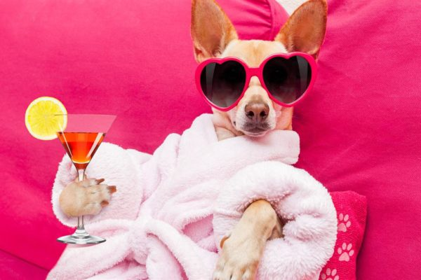 Chihuahua with pink and drink