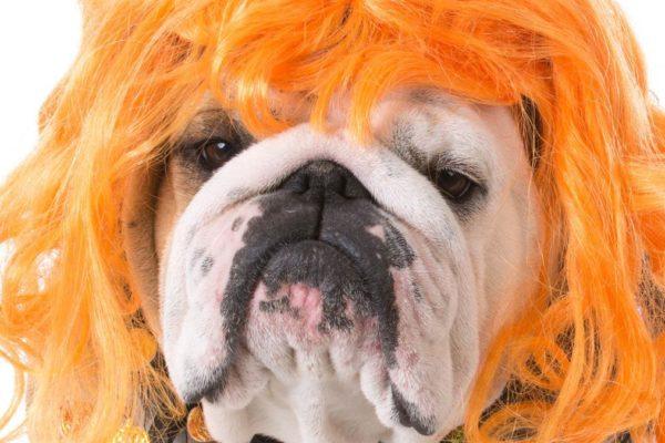 ginger dog